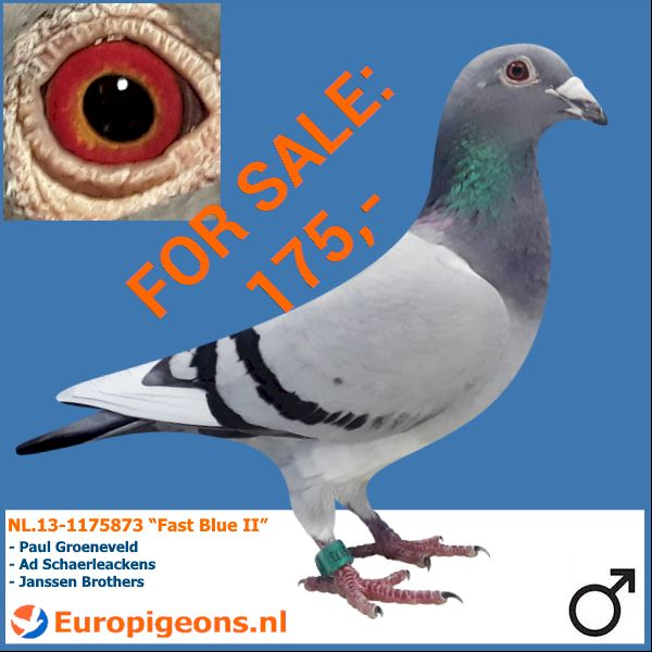 test Twitter Media - Just a few of the many quality pigeons for sale at my website https://t.co/ckkEfDk3Sc If you need my help to accomplish your goals in our wonderful sport just give me a buzz at sales@europigeons.nl or Whatsapp me at 0031610746683  #europigeons #qualityisachoice #racingpigeons https://t.co/1Vckv9Ilv6