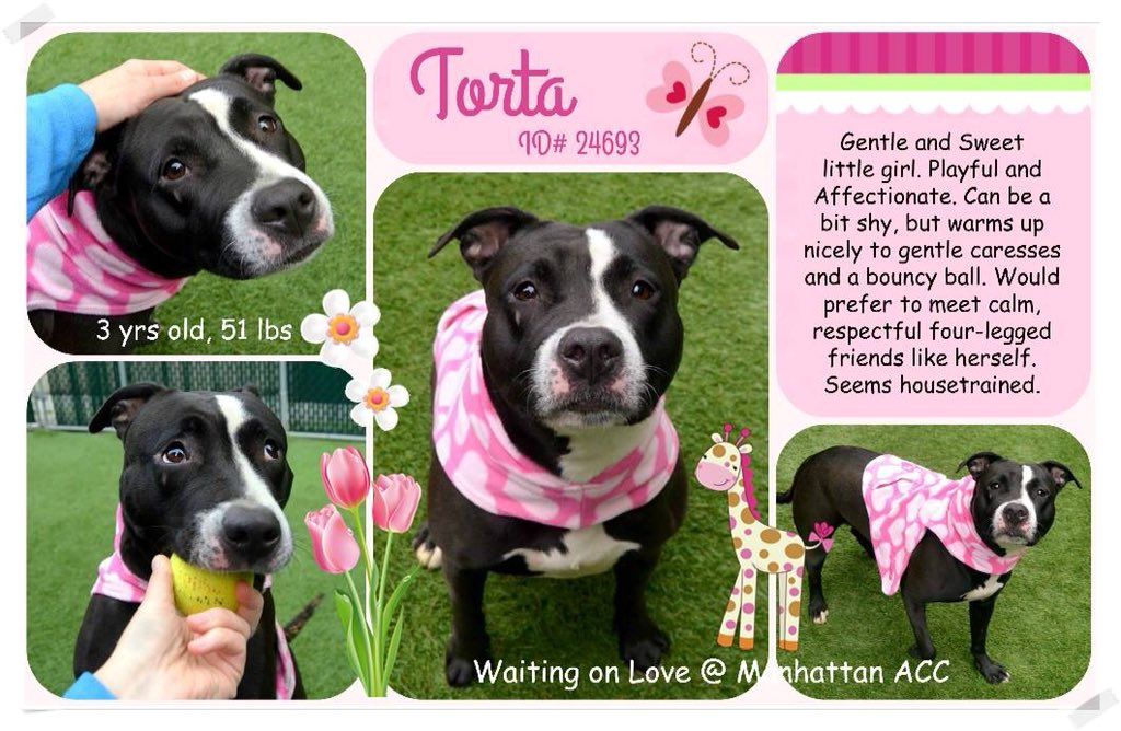 SWEET #TORTA NEEDS A FAMILY TO LOVE NOT STUFFED A BODY BAG! CONDEMNED FOR A #COLD, HER LAST CHANCE! SAVE HER!   #RESCUEDOGS #FOREVERHOME #CIRDC #FOSTER #ADOPT #RESCUEDOGS #SAVEALIFE  #SaveTORTA #RescueIsTheWayToGo  #HumaneNY #EndBSL  https://www. facebook.com/mldsavingnycdo gs/photos/a.428526917333584.1073742030.112453902274222/708906882628918/?type=3 &nbsp; … <br>http://pic.twitter.com/WrlwRYnrsO
