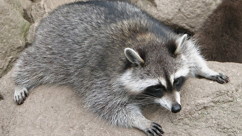 Woman turns to firefighters when pet raccoon gets stoned off of 'too much weed' https://t.co/dpWBUbAUgw