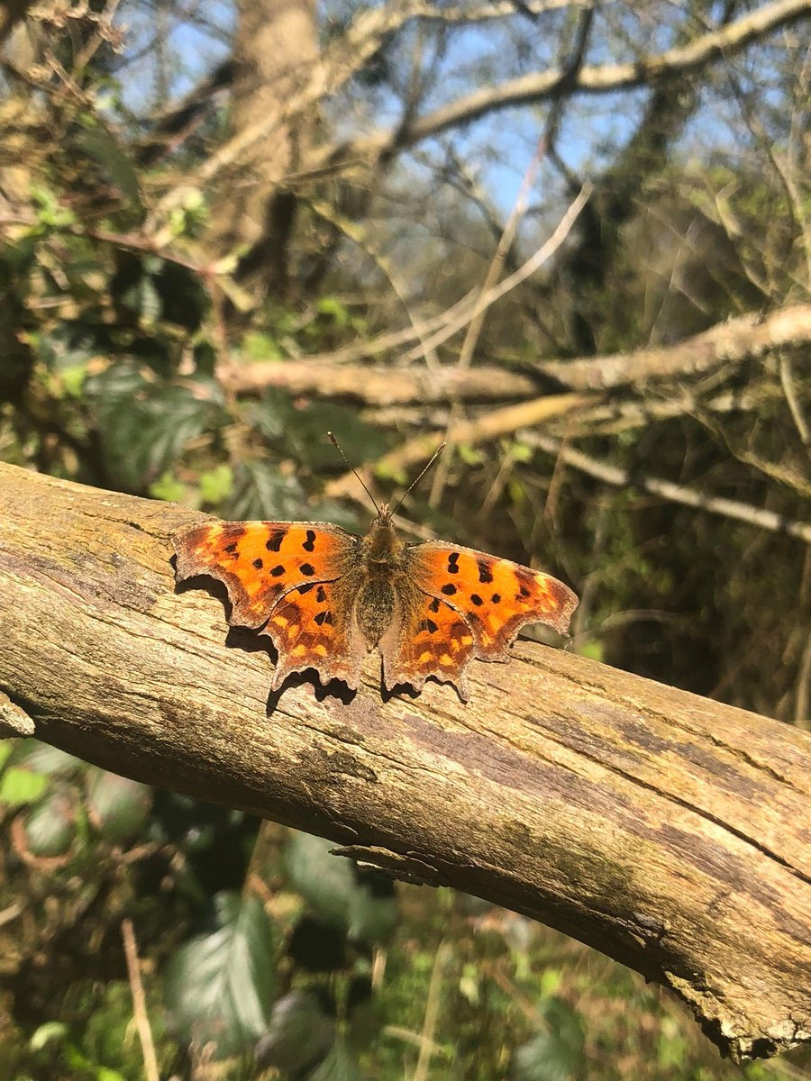 We are enjoying the lovely spring weather here at DNS, and look what we spotted on a lunchtime stroll in the woods #spring #butterfly #mudefordwoods #christchurch #Dorset<br>http://pic.twitter.com/omT7PJDt7F