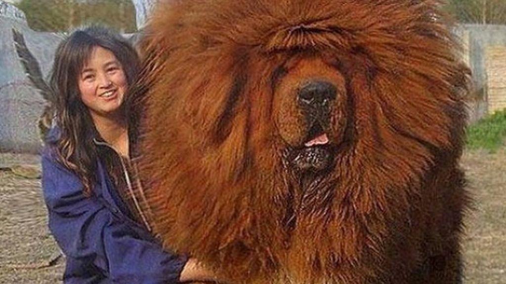 El mastín tibetano, el 'perrazo' más gra...