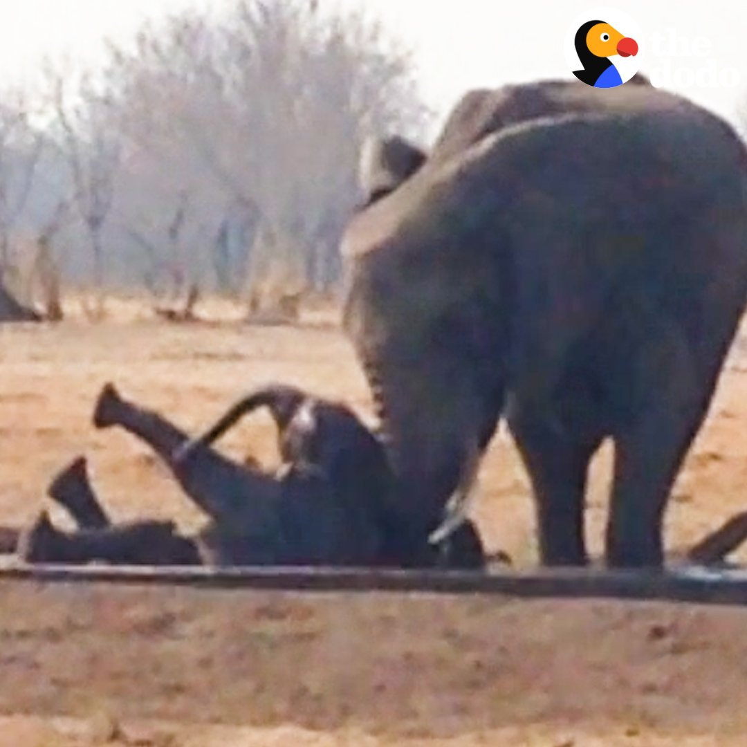 This baby elephant was stuck on his back as lions were closing in…  Then another elephant family saved his life ♥️🐘