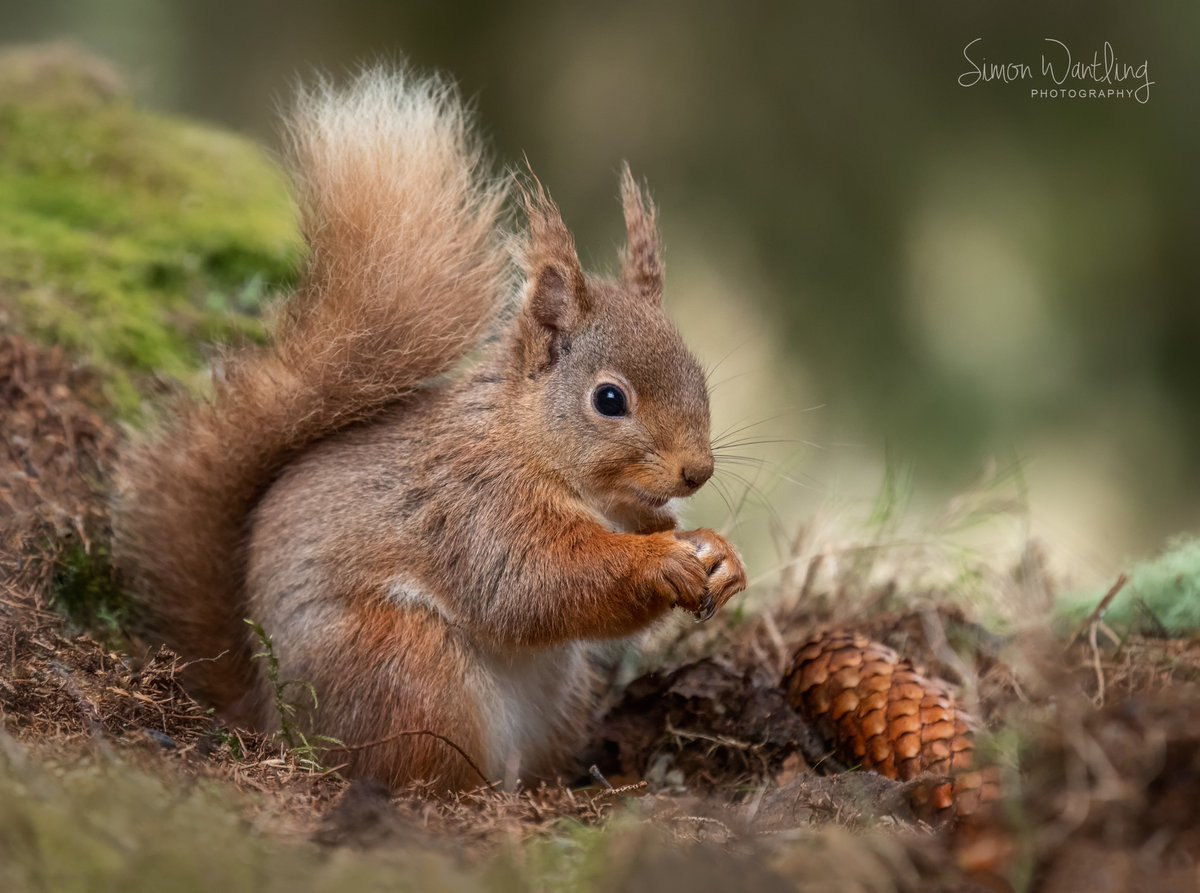After a week early starts trying to photograph Red Squirrels in the Cairngorms, it all came together on the last day. Wonderful little animals. @CanonUKandIE @BBCEarth @WPPmagazine #wildlifephotography #scotland