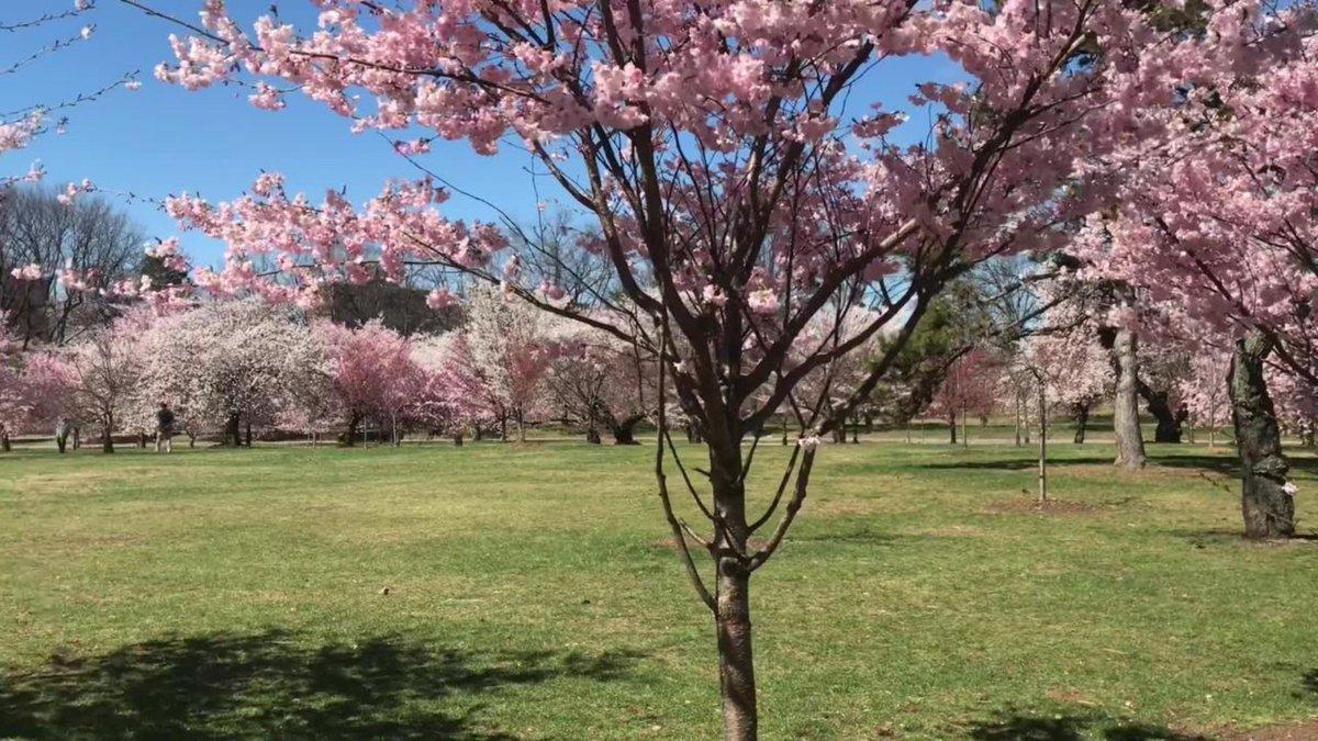 Watch Belleville's cherry blossoms in bloom https://t.co/OMTVMvzlg3