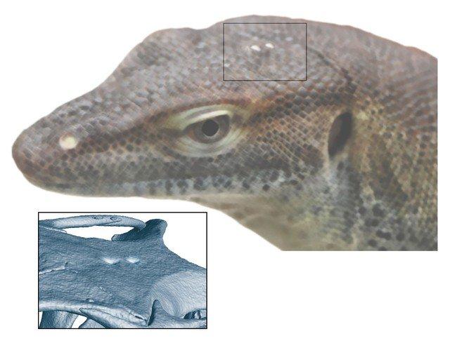 Por que os lagartos têm um 'terceiro olh...