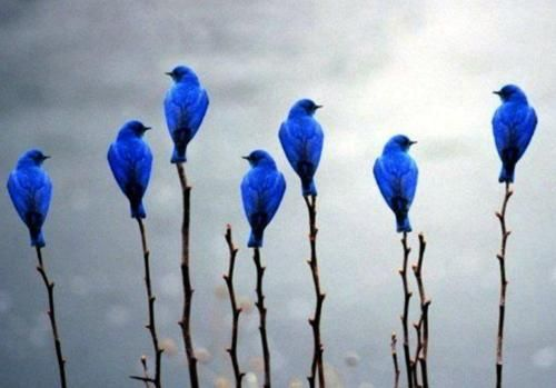 Blue birds...  ~ Birds of a feather flock together ~