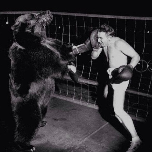 In 1949 an official boxing match between a bear and a man was held. The bear won.