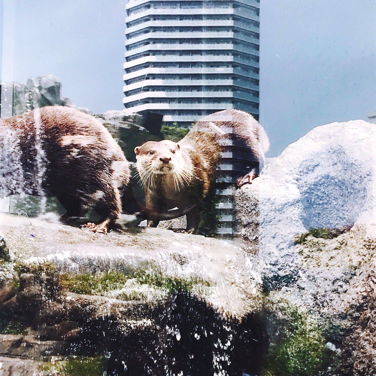 水族館での結婚式に出席してカワウソ撮ったらガラスに反射した高層マンションがやたら反映されて撮れたものがこちら