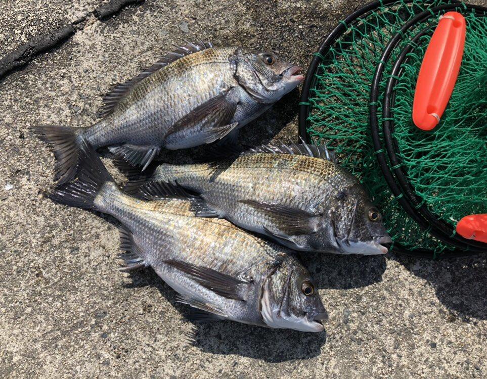 因島でかぶせ釣り 朝マズメに39、41、43の3枚 https://t.co/E...