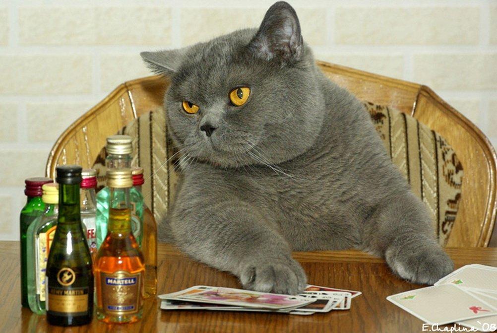 стоит картинки британских котов прикольные и смешные этом партнере обретете