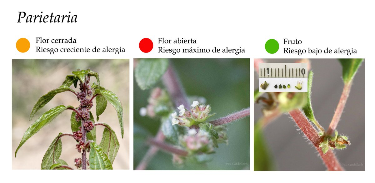 Planttes On Twitter Conoces La Parietaria Sabias Que Junto Al
