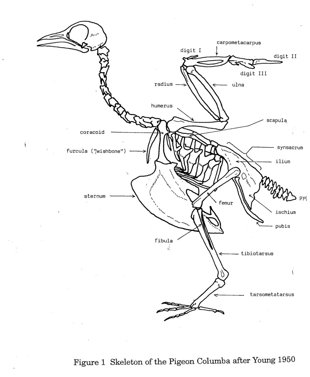 Astounding Dr Emily Johnson On Twitter Back To Our Buckbeak Bones Wiring 101 Tzicihahutechinfo