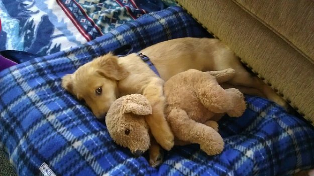Today&#39;s adorable puppy is a Golden Retriever with his look-a-like stuffed pal....how cute can you get?!  #GoldenRetriever #GoldenRetrieverPuppy #MondayMorning #dogsoftwitter  #doglovers #dogsarelove<br>http://pic.twitter.com/zQiz0Y0SB8
