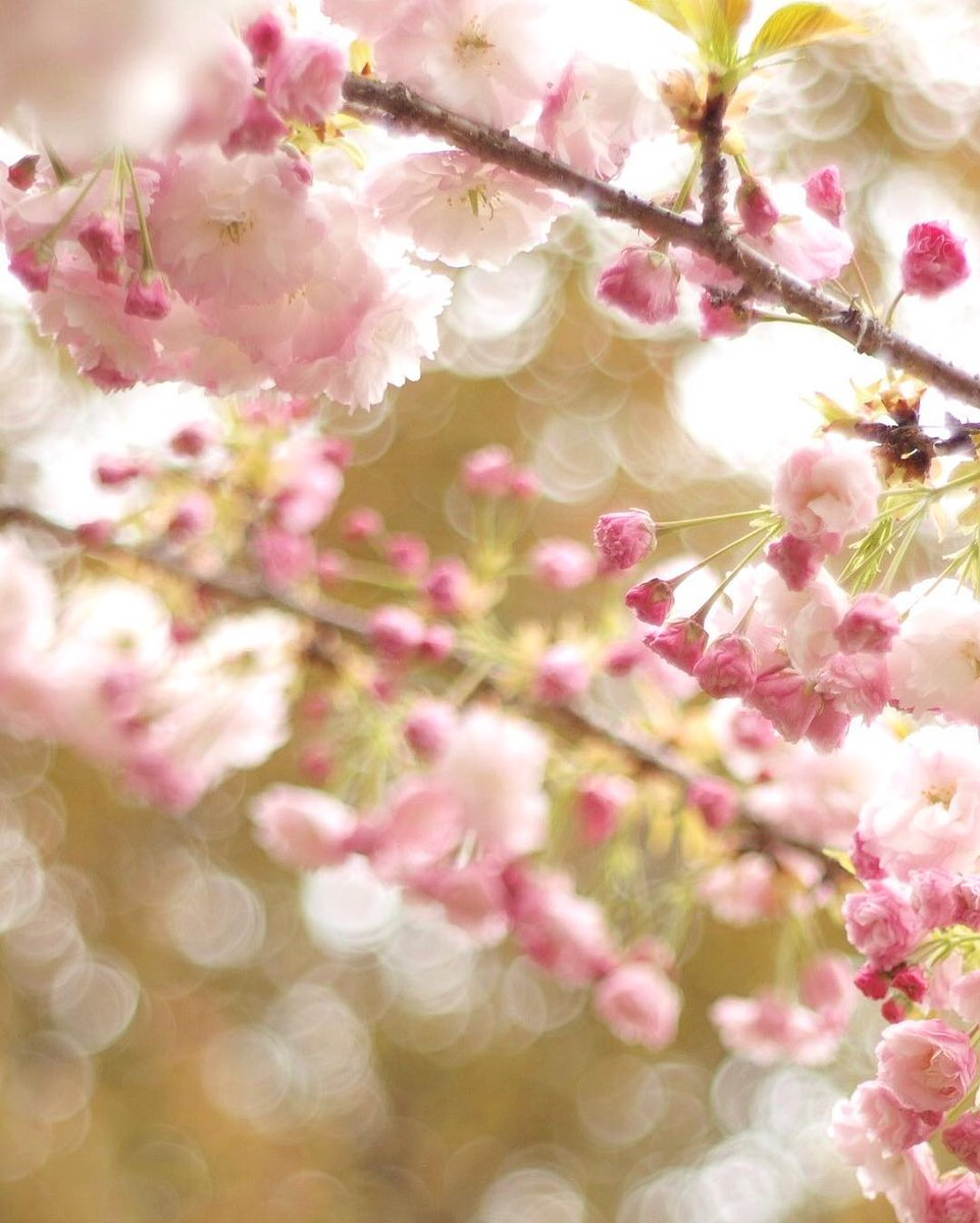 """...""""I know of only one duty, and that is to love...""""  ~ ɑℓbҽrt cɑოυs ԹհօԵօ • Instagram/ringo611 #cherryblossom  #lovequotes #inspiration<br>http://pic.twitter.com/jKYENhk9D4"""