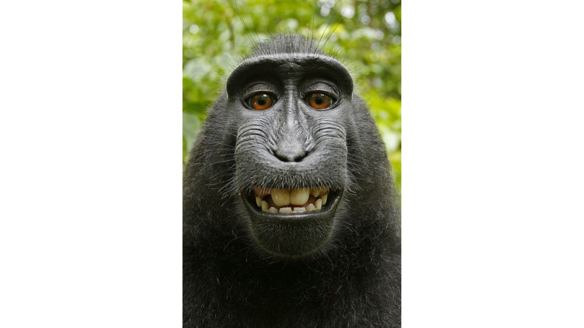 Monkey can't sue for copyright infringement of selfies, 9th Circuit rules https://t.co/OBZnddXAxE