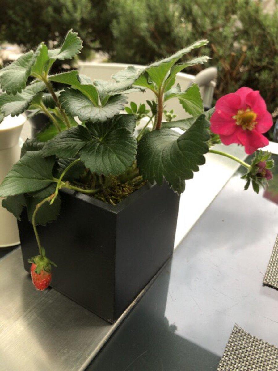苺の花は白いイメージだったけど、赤いのもあるのね? (@ フィオレンティーナ i...