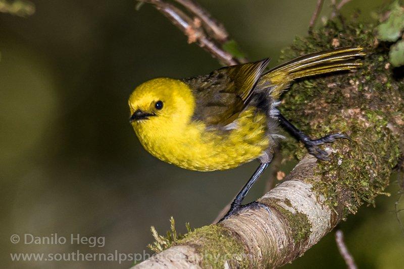 everybird on twitter bird 6 646 yellowhead mohoua ochrocephala