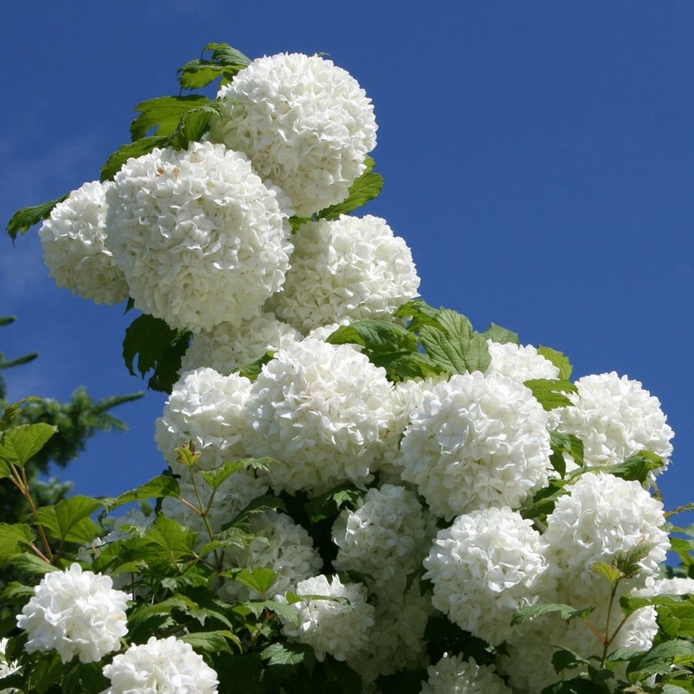 Sap Holland Sur Twitter Viburnum Opulus Is Known As The