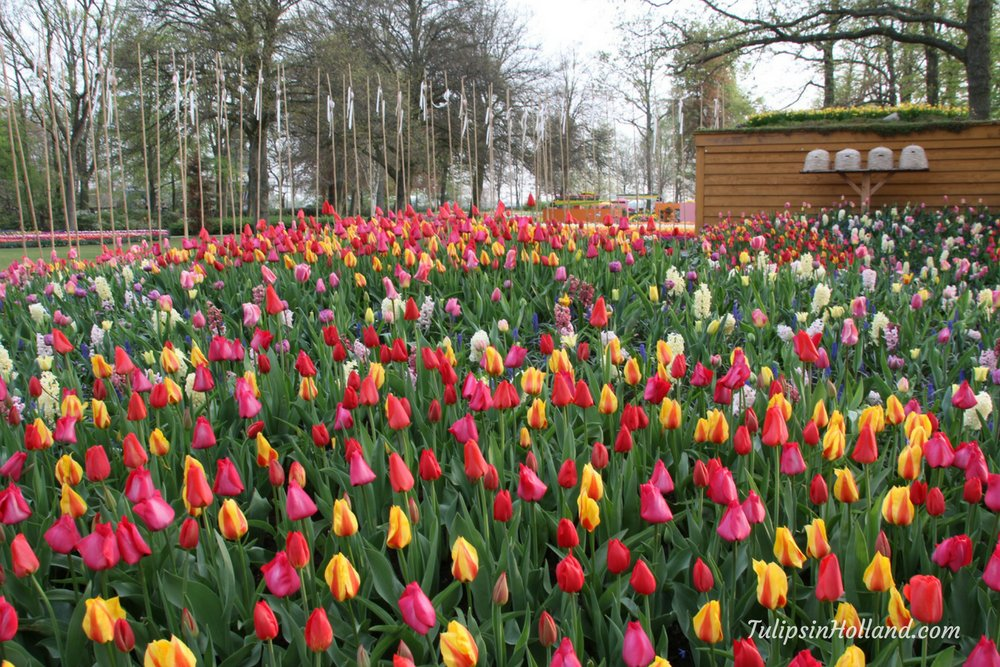 Bright tulip collection at the health garden  #travel to the #tulipsinholland spring 2018  http:// bit.ly/2mx4sJT  &nbsp;  <br>http://pic.twitter.com/HZqt97yC4S