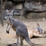 Image for the Tweet beginning: Zoo visitors kill kangaroo with