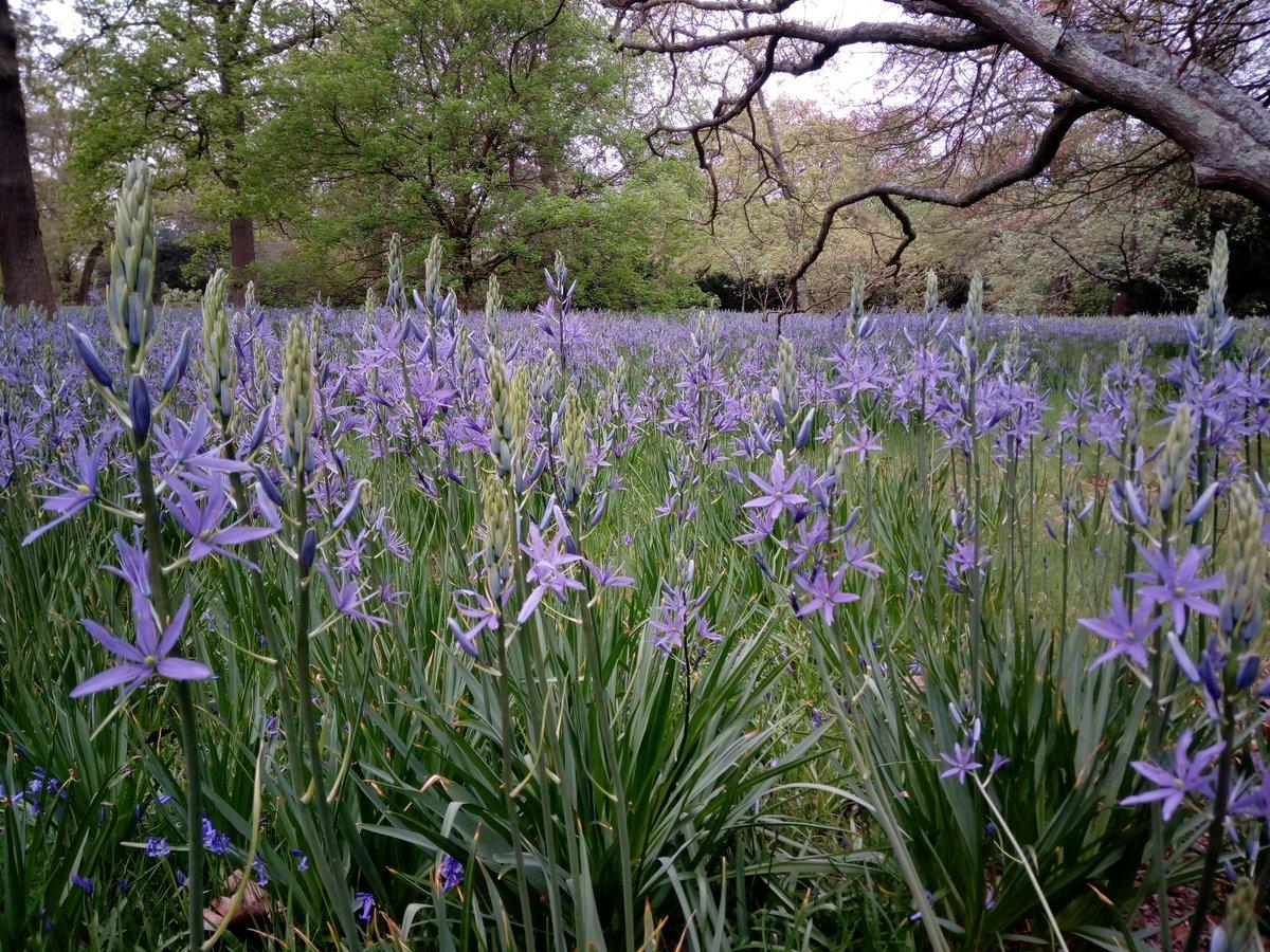 Tony On Twitter 80000 Camassia Leichtlinii Are Flowering