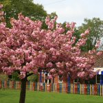 The cherry blossom tree in our Quad has burst into flower  #spring #LongacreLife