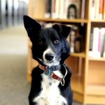 An aspiring agility dog and semiprofessional squirrel chaser, Luna can be found most days monitoring the third-floor hallway in Hayden Library. @mitlibraries #PetsofMIT