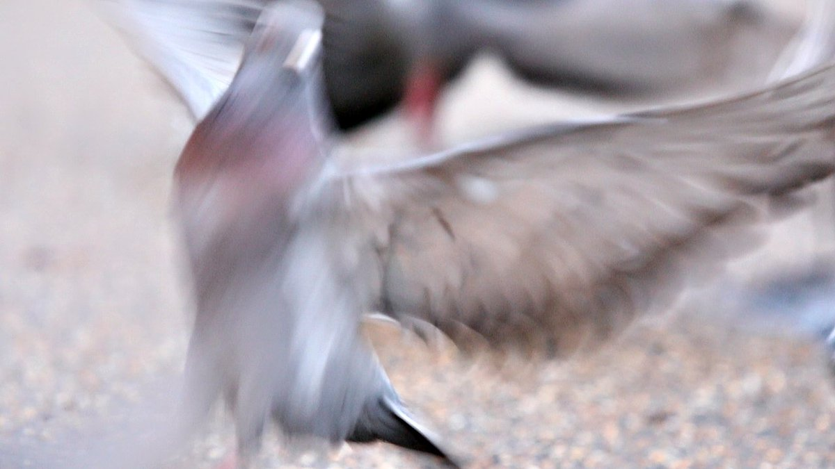 NEW WORK! &#39;243:1&#39; - a short film paying homage to the humble pigeon.  https:// vimeo.com/255704619  &nbsp;   #artfilm #pigeons #art #videoart Currently on show at #Interface @neo_artists #neogallery23 #Bolton <br>http://pic.twitter.com/MPzCOoAXxg