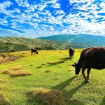 Qingtiangang is one of the most popular scenic spots in Yangmingshan National Park for foreign visitors. You can not only enjoy magnificent views but also watch cows grazing, which is a relaxing and suitable activity at Qingtiangang. Check here :  https://t.co/B9nCnkaTIW