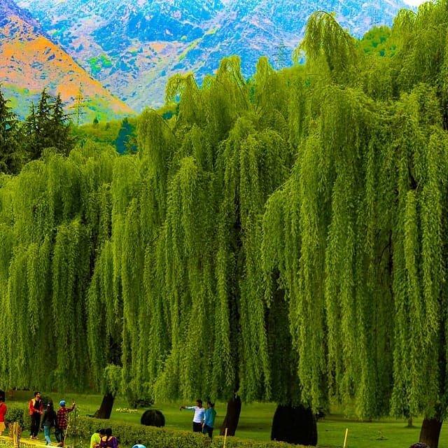 A Beautiful Of The Trees In Botanical Garden Srinagar  Click on   http:// Instagram.com/kashmirtourism official &nbsp; …  @NatGeoTravel @JandKTourism @innovatty @TourismGoa #Kashmir #travel #HoliDay #tourists #adventure #vacation #Srinagar<br>http://pic.twitter.com/FzTS0U5fq4