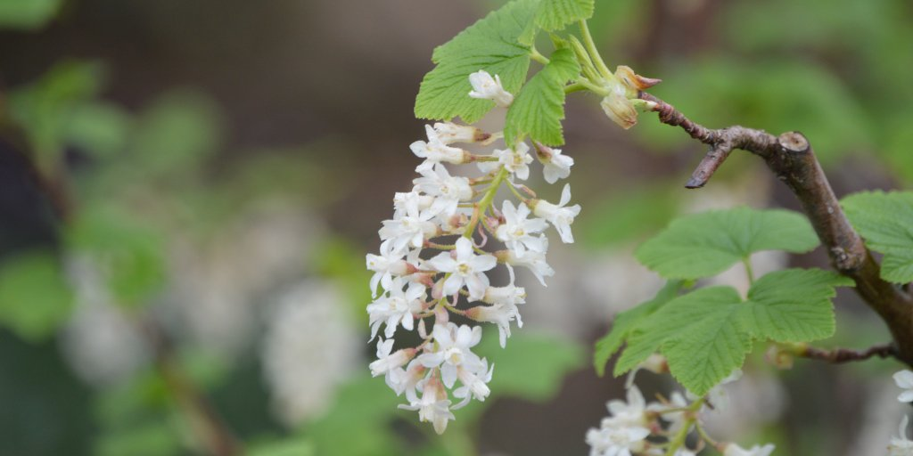 Vandusen garden on twitter find flowering currant ribes find flowering currant ribes sanguineum white icicle blooming in the garden this week it produces small white flowers in the spring and dark blueblack mightylinksfo