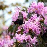 Image for the Tweet beginning: Beautiful #azaleas on the Daming