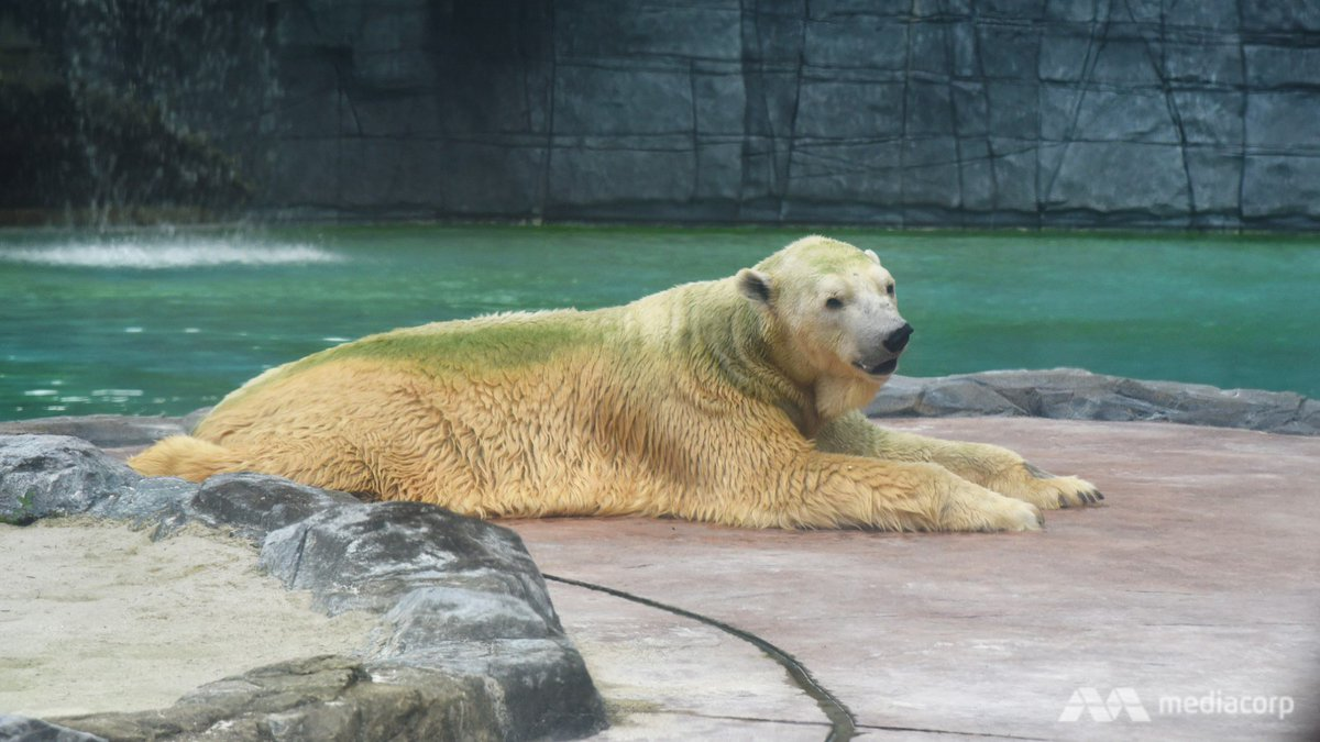 BREAKING: Singapore Zoo has put down Inuka the polar bear, saying it ended its suffering on 'humane grounds' #RIPInuka   https://t.co/QTaisyVcAD