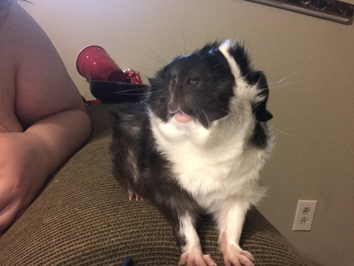 Look at him modeling for the camera #guineapig #animals <br>http://pic.twitter.com/qlnN334b07