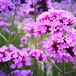 Image for the Tweet beginning: Meet the #violet fairies dancing