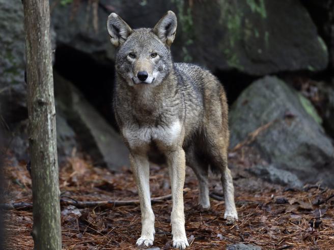 Addio al lupo rosso: l'ultimo branco a rischio estinzione Le foto più belle dal mondo https://t.co/8Scm20lC46