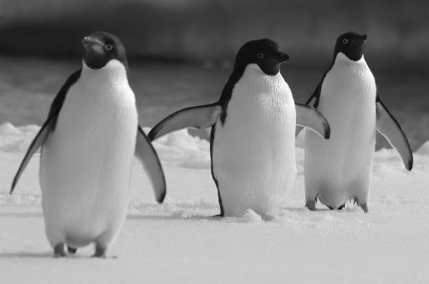 In honour of both #WednesdayWisdom and #WorldPenguinDay - why don't penguins' feet freeze?  Read our Q&A:   📷 https://t.co/6pxGiIR9GlMatt McKean