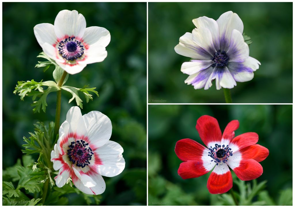 A common name for the Anemone is &#39;wind flower&#39;. Its genus name comes from Greek &#39;anemos&#39; meaning &#39;wind&#39;. According to Pliny the flower was named thus as it was believed only to bloom when the wind blows. In Greek mythology Anemone was the daughter of the winds. #folklore #flowers <br>http://pic.twitter.com/htrk7ywiuZ
