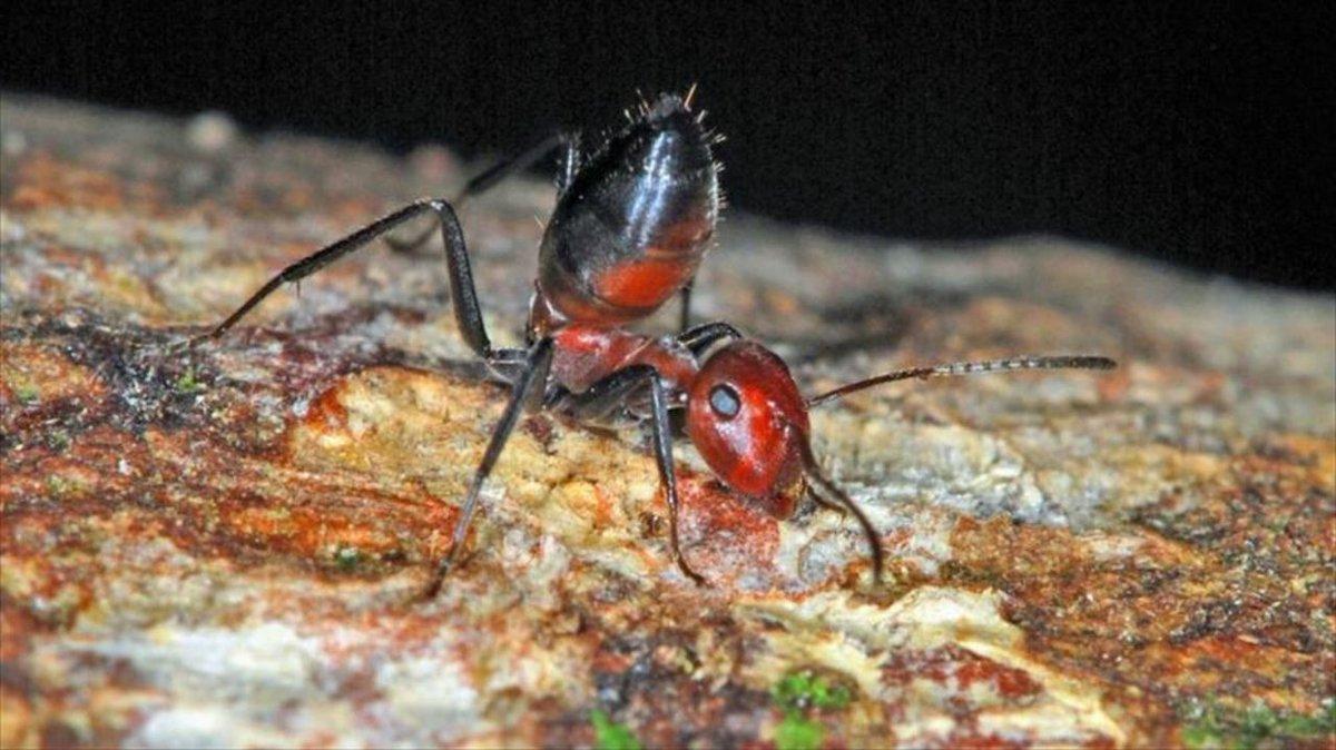 自爆するアリの新種がみつかる #サイエンス #動物 https://t.co/4tFWKb23wy