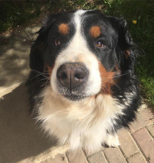My look for wednesday  . . #wednesday #wednesdaylook #halfwaytotheweekend #happywednesday #sillyface #dogface #bernersennenhund #bernesemountaindoglovers #bmd #bernerlovers #bernese #berneselove #boopmynose #berner #bernesemountaindog #prettydog #t…  https:// ift.tt/2HtCVEk  &nbsp;  <br>http://pic.twitter.com/A0G5snWdkr