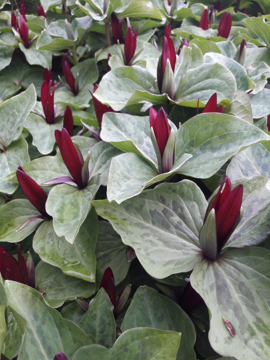 We have trilliums by the zillion at @LoganBotanicGdn @TheBotanics #trillium #april <br>http://pic.twitter.com/apTrP3Ll9x