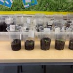 Week 2 of our sunflower diary, some have grown (some not yet!!) but we are really enjoying watching the seed turn into a plant. 🌻👀😀