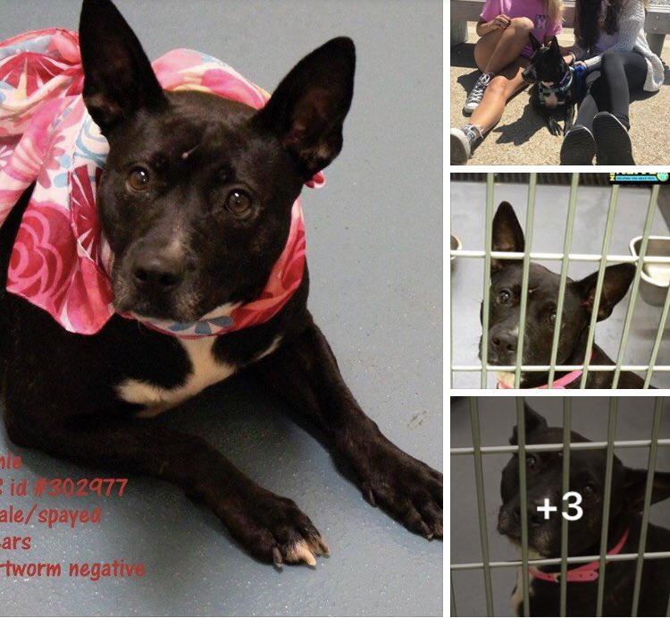 #TN #MEMPHIS CRITICAL Winnie 3yo girl hw+ very friendly, affectionate, a happy soul who will be a great pet! Needs out now! Pls #ADOPT #PLEDGE #RESCUE #FOSTER SHELTER IS FULL! #A302977  https://www. facebook.com/MemphisAnimalC onnection/posts/2080818802206329 &nbsp; …  <br>http://pic.twitter.com/DpC71ENwcG