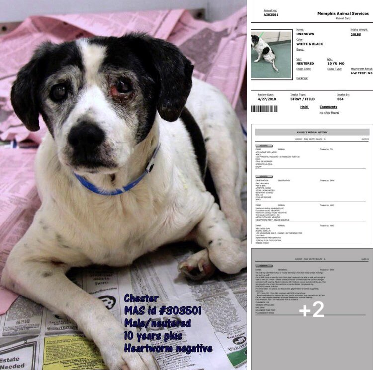 #TN #MEMPHIS SPECIAL PLEA Chester 10yo boy hw- sweet &amp; friendly, limited hearing, eye &amp; dental issues. Longs for a warm bed in a kind home! Pls #RESCUE #PLEDGE #FOSTER #ADOPT PLS HELP - SHELTER FULL  https://www. facebook.com/MemphisAnimalC onnection/posts/2080873508867525 &nbsp; …  <br>http://pic.twitter.com/Ol6e45MmIU