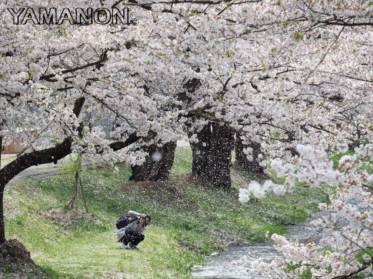 会津の桜(桜峠など)