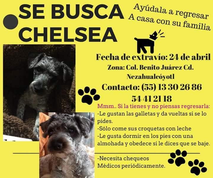 #SeBusca #Chelsea Ecatepec @EcatepecCom @Ecatepec @PerdiDogsCDMX @perrososmx @PrrosPerdidosMX @Fer_Ortega25 @PpEncontradosMx @PerdiDogsMx<br>http://pic.twitter.com/B2A8Sxuw7S