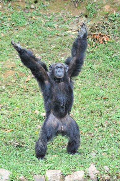 Image result for Uganda's oldest Chimpanzee, Zakayo dies