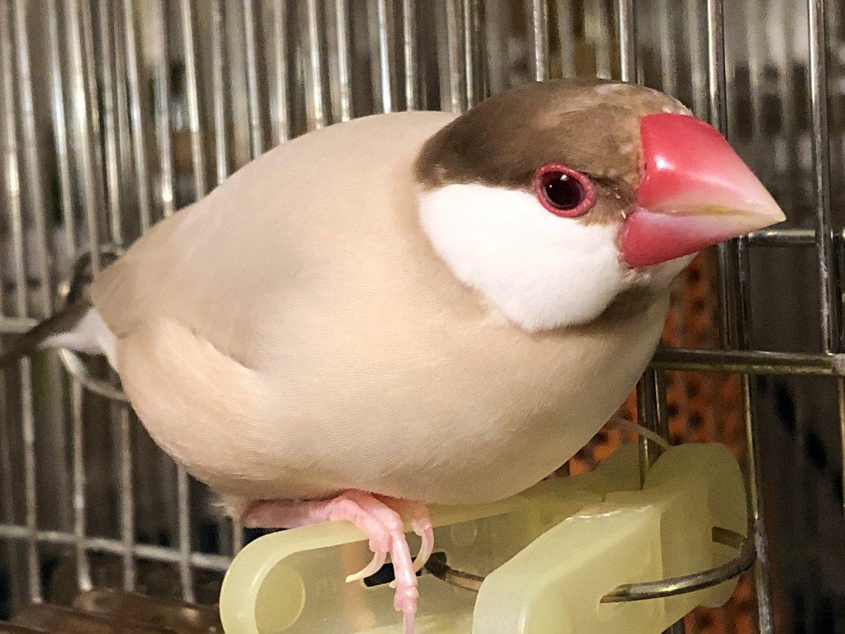 シナモン 文鳥