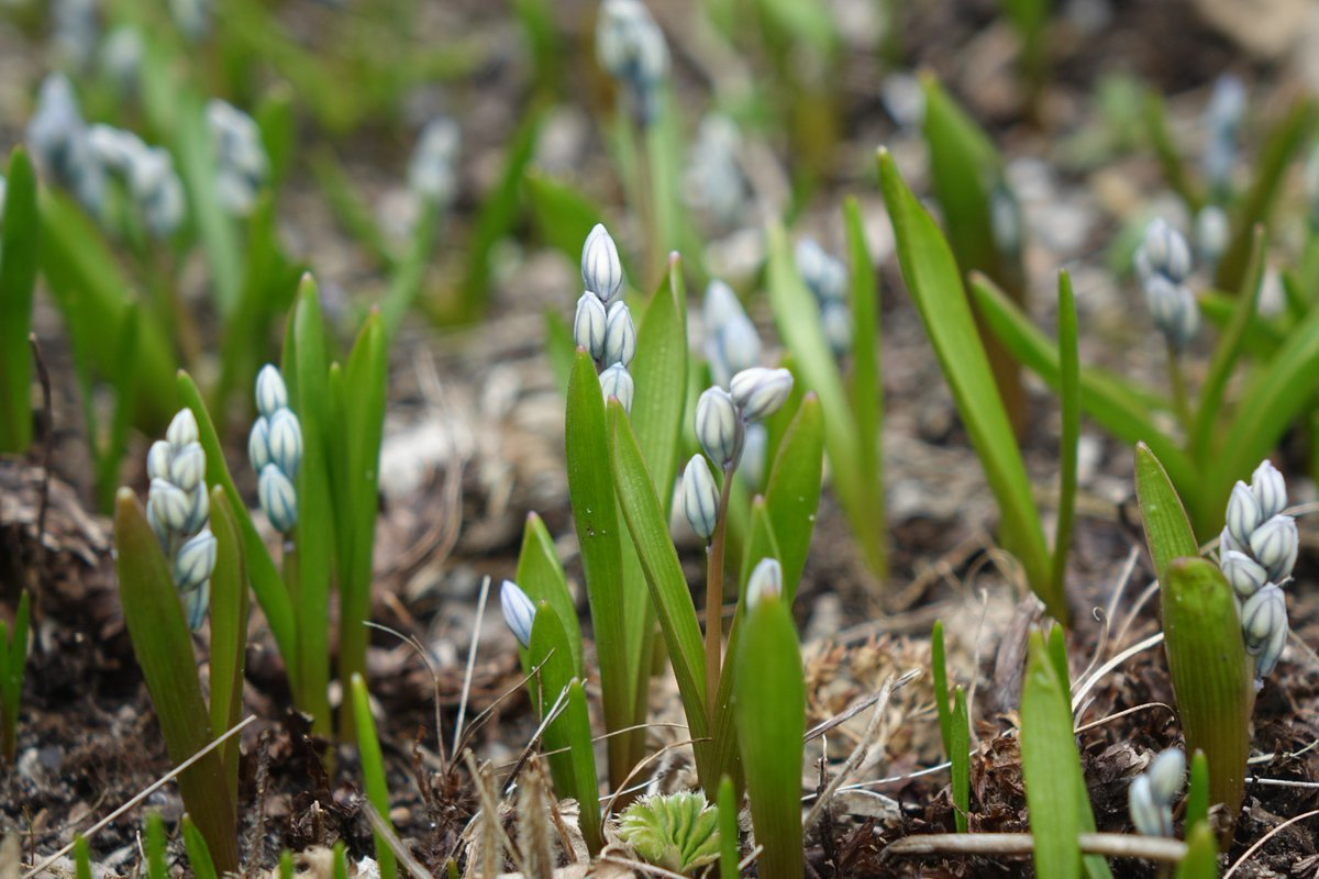Royal botanical gardens on twitter this week in spicer court open small clumps of tiny white flowers with blue inside stipes inside each petal flowers are fragrant and blooms late winter to early spring izmirmasajfo