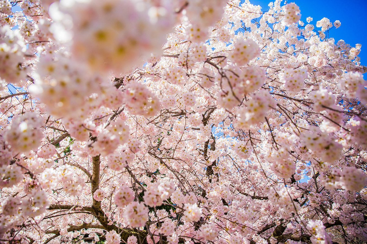 New York Botanical Garden On Twitter The Cherry Blossoms Give You